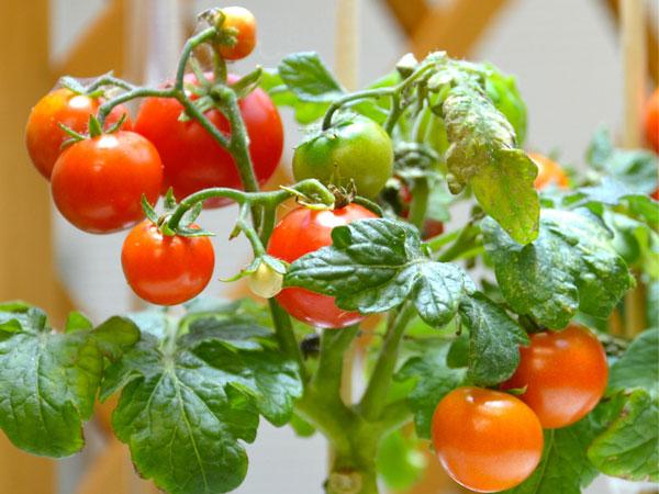 メロンより甘いミニトマトが可能に!?<br>野菜の味も変えられる!?