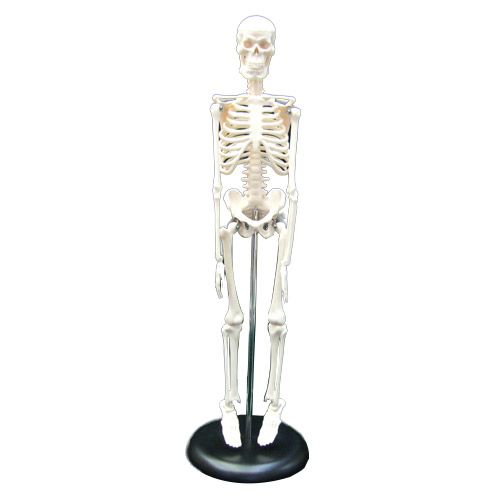 マキトー 1/4人体骨格模型 スケルトム CT-102