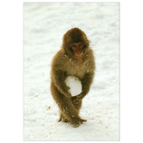 ピンナップ ポストカード ニホンザル 雪玉 MW19