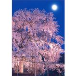 ピンナップ ポストカード 京都 円山公園 しだれ桜 月 KM14