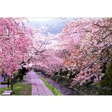 ピンナップ ポストカード 京都 哲学の道 桜 KM38