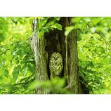 ピンナップ ポストカード エゾフクロウ 木の洞で AM98│カード・ポストカード ポストカード(写真)