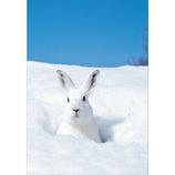 ピンナップ ポストカード 白ウサギ 雪穴から顔出す AM117