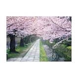 ピンナップ 桜 哲学の道 NP625