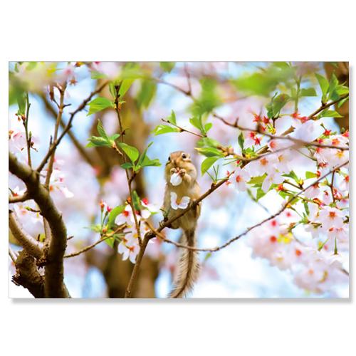 ピンナップ ポストカード 桜枝 シマリス