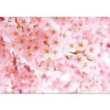 ピンナップ ポストカード 桜 ピンク NP667