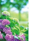 ピンナップ ポストカード アジサイ(紫陽花) NP441