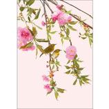 ピンナップ ポストカード 八重桜 メジロ HA602