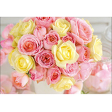 ピンナップ ポストカード FW226 バラ ピンク 黄│カード・ポストカード ポストカード(写真)