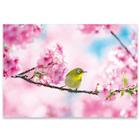 ピンナップ ポストカード メジロ 桜 HA615