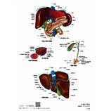 マキトー クリアファイル人体 A4 肝臓の構造│ファイル クリアファイル