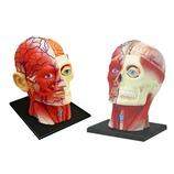 青島文化教材社 FAME MASTER 4D VISION 人体解剖モデル 立体パズル No.11 頭部断面