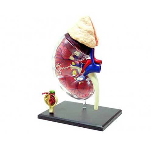 アオシマ 腎臓&腎小体解剖モデル 人体No.17