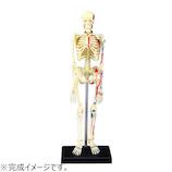 アオシマ 4D VISION 人体解剖 No.8 全身骨格解剖モデル│パズル 立体パズル