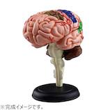 アオシマ 4D VISION 人体解剖 No.12 脳解剖モデル│パズル 立体パズル