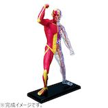 アオシマ 4D VISION 人体解剖 No.13 筋肉と骨格解剖モデル│パズル 立体パズル