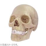 アオシマ 4D VISION 人体解剖 No.23 1/2 頭蓋骨解剖モデル│パズル 立体パズル
