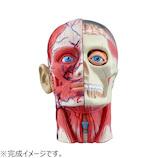 アオシマ 4D VISION 人体解剖 No.11 頭部断面解剖モデル│パズル 立体パズル