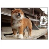 アクティブコーポレーション 柴犬ポストカード PN−487│カード・ポストカード ポストカード(写真)