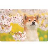 アクティブコーポレーション 春柄イヌ3Dポストカード PP−57h 桜/柴犬│カード・ポストカード ポストカード(写真)